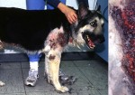 choroby u psov a liečba s CDS2