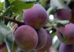 CDS2 postrek ovocných stromov